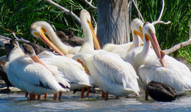 The Pelicans of West Central Minnesota