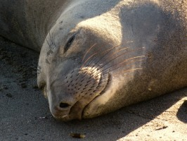 Seal pup sleeping peacefully