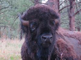 Buffalo portrait in Custer State Park