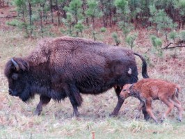 Buffalo newborn calf with its mother