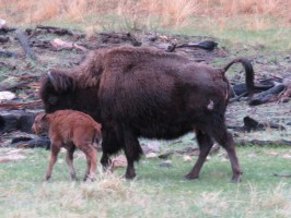 custer-buffalo-spring-newborn-6