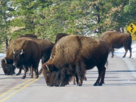 Buffalo herd licking salt on the road in Custer State Park