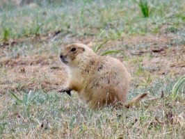 Prairie dog in Custer State Park