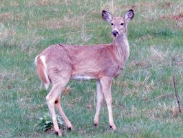 White-tail deer in Custer State Park