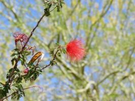 gilbert-riparian-preserve-flower