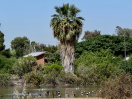 gilbert-riparian-preserve-palm-tree