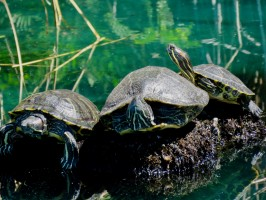 gilbert-riparian-preserve-turtles