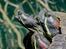 gilbert-riparian-preserve-turtles2