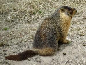 steamboat-springs-marmot