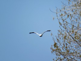 utah-spring-miller-bay-seagull