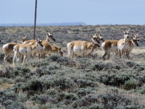 wyoming-antelope-2