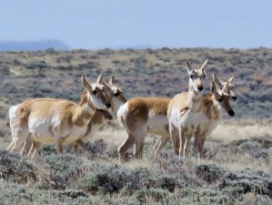 wyoming-antelope-4