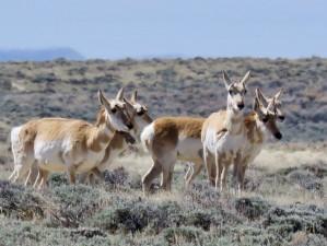 wyoming-antelope-4