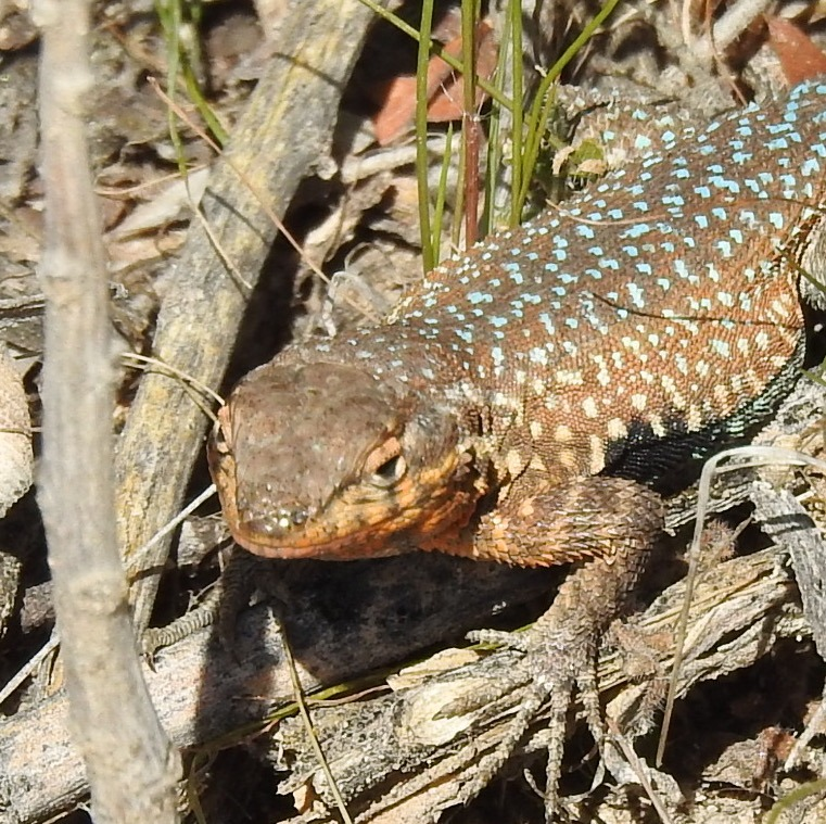 The Common Blotched-Sided Lizard at White Tank