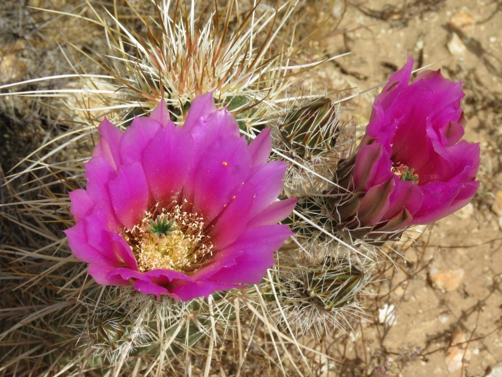 Cactus Flowers at White Tank Mountains
