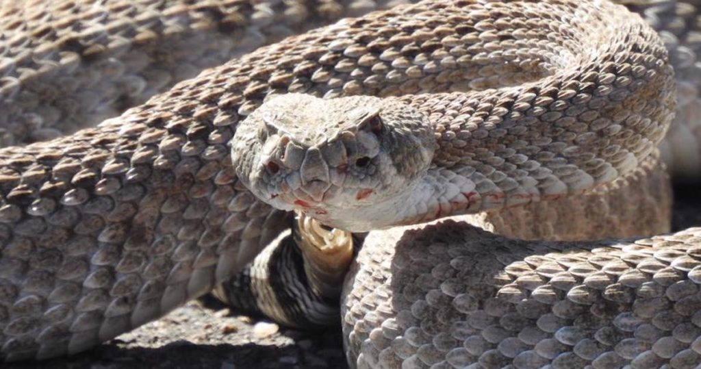 An injured rattlesnake showing part of its rattle missing and blood under its head.