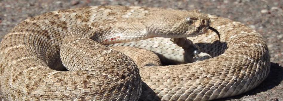 Injured Rattlesnake at Pinnacle Peak