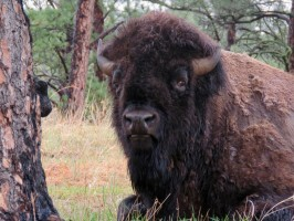 Buffalo portrait in Custer State Park