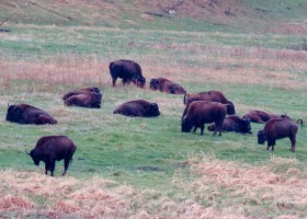 Buffalo herd in Custer State Park