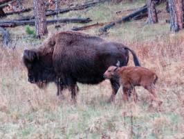 Buffalo newborn calf with its mother
