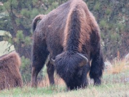 Buffalo in Custer State Park showing two beautiful stripes on his back.