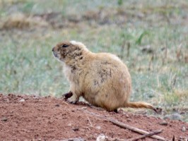 custer-prairie-dog-3