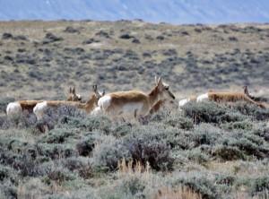 wyoming-antelope-1